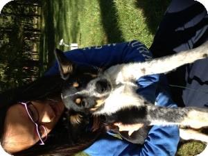 Australian Cattle Dog/Australian Shepherd Mix Puppy for adoption in Marlton, New Jersey - Baby Scout