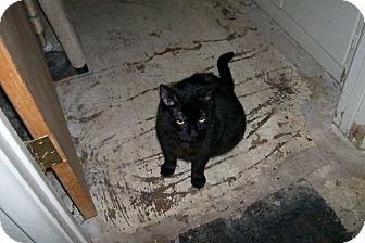 Domestic Shorthair Cat for adoption in Scottsdale, Arizona - Willis