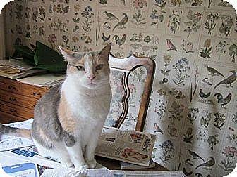 Calico Cat for adoption in Cerritos, California - Sabrina