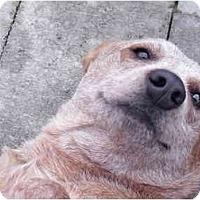 Adopt A Pet :: Clarabelle - Meridian, ID