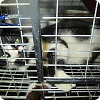 Adopt A Pet :: Fancy - Chesapeake, VA