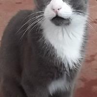 Adopt A Pet :: Bugsy - Savannah, MO