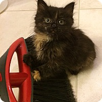 Adopt A Pet :: Mallory - Chesterfield Township, MI