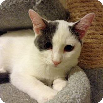 Domestic Shorthair Cat for adoption in Fitchburg, Wisconsin - Ezri