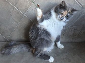 Domestic Mediumhair Cat for adoption in Seguin, Texas - Daffodil