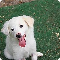 Adopt A Pet :: Darla - Austin, TX