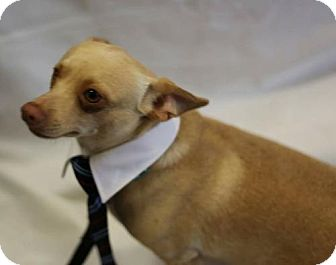 Chihuahua Mix Dog for adoption in Fort Worth, Texas - Rusty