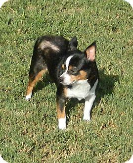 Chihuahua Mix Dog for adoption in Umatilla, Florida - Sugar Baby