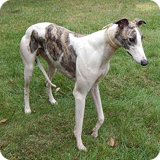 Greyhound Dog for adoption in Florence, Kentucky - Barry