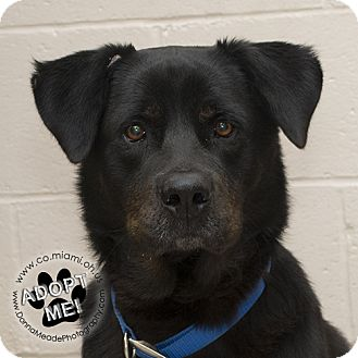 Rottweiler Mix Dog for adoption in Troy, Ohio - Luke- Adoption Pending