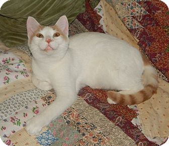 Turkish Van Cat for adoption in Plano, Texas - TURKEY - TURKISH VAN SWEETNESS