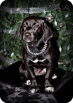 Labrador Retriever/Basset Hound Mix Puppy for adoption in Boulder, Colorado - Izzie