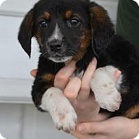 Adopt A Pet :: Shell - Danbury, CT