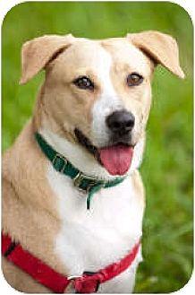 Labrador Retriever Mix Dog for adoption in Key Biscayne, Florida - Labby