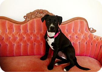 Labrador Retriever Mix Dog for adoption in Homewood, Alabama - Kia