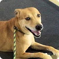 Adopt A Pet :: Layla - Bergheim, TX
