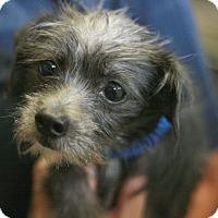 Adopt A Pet :: Clarisse - Canoga Park, CA