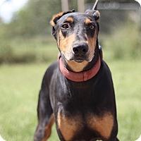 Adopt A Pet :: Roger - McAllen, TX
