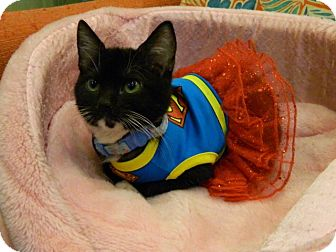 Domestic Shorthair Kitten for adoption in The Colony, Texas - Nightclub
