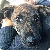 Adopt A Pet :: Clove - Alpharetta, GA
