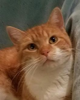 Domestic Shorthair Cat for adoption in Colfax, Iowa - Mazey
