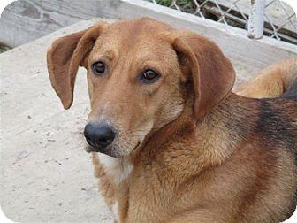 German Shepherd Dog/Labrador Retriever Mix Dog for adoption in Liberty Center, Ohio - Jake