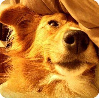 Sheltie, Shetland Sheepdog/Collie Mix Dog for adoption in East Thetford, Vermont - Chilo