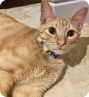 Domestic Shorthair Cat for adoption in Plano, Texas - MARTY - BELLY RUB LOVER
