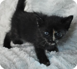 Domestic Shorthair Kitten for adoption in Shreveport, Louisiana - Maya