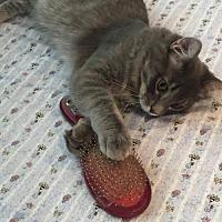 Domestic Mediumhair Cat for adoption in Walnut Creek, California - Oscar