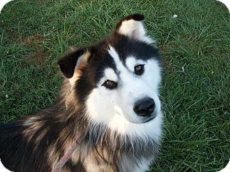 Siberian Husky/Husky Mix Dog for adoption in Augusta County, Virginia - Jonas - 18 months