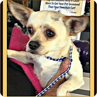 Chihuahua Mix Dog for adoption in West Los Angeles, California - Bennie