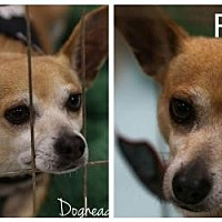 Adopt A Pet :: Rudy - Fort Worth, TX