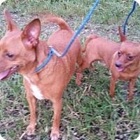 Chihuahua/Miniature Pinscher Mix Puppy for adoption in Foristell, Missouri - Penn&Teller