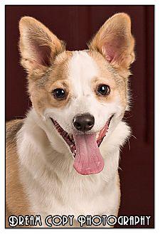 Terrier (Unknown Type, Small)/Corgi Mix Dog for adoption in Owensboro, Kentucky - Bemo