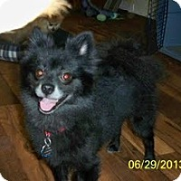 Adopt A Pet :: Oso (Bear) - Shawnee Mission, KS
