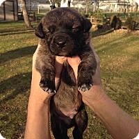 Adopt A Pet :: Miles - Toledo, OH