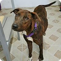 Adopt A Pet :: Piggy - Brooklyn, NY