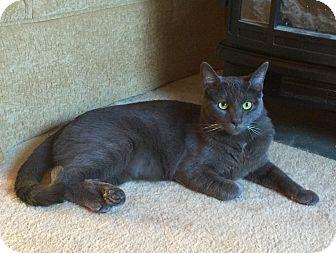 Russian Blue Cat for adoption in Smyrna, Georgia - George