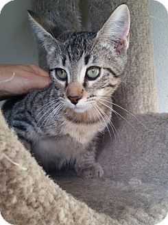 Domestic Shorthair Kitten for adoption in Schertz, Texas - BamBam TG
