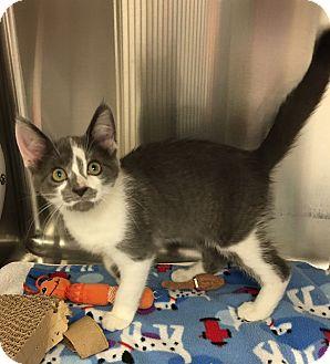 Domestic Shorthair Kitten for adoption in Battle Creek, Michigan - Ricky
