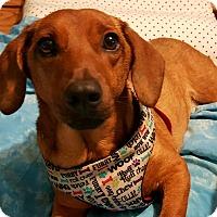Adopt A Pet :: Elyse - Andalusia, PA