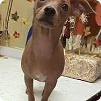 Adopt A Pet :: CHIHUAHUA Girl - Pompton Lakes, NJ
