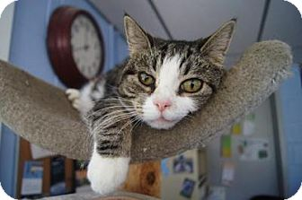 Domestic Shorthair Cat for adoption in New Milford, Connecticut - Princess
