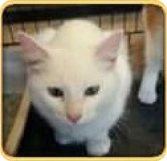 Domestic Longhair Cat for adoption in Riverview, Florida - Ruby