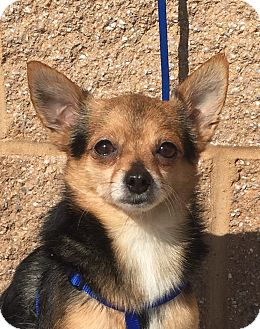 Chihuahua/Pomeranian Mix Dog for adoption in Mount Pleasant, South Carolina - Bandit