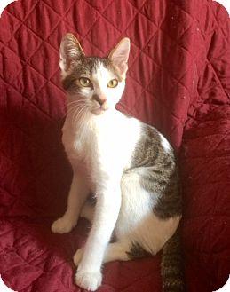 Domestic Shorthair Kitten for adoption in Corona, California - JACK