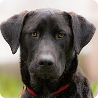 Labrador Retriever Mix Dog for adoption in Irvine, California - Alf