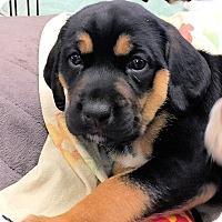Adopt A Pet :: Brienne Of Tarth - Atlanta, GA