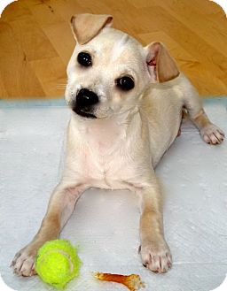 Chihuahua Mix Puppy for adoption in Seattle, Washington - Logan Foster Home Needed